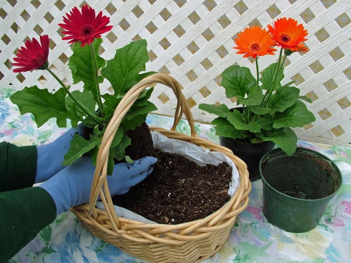 Всё о выращивании герберы комнатной, уходе в домашних условиях в горшке