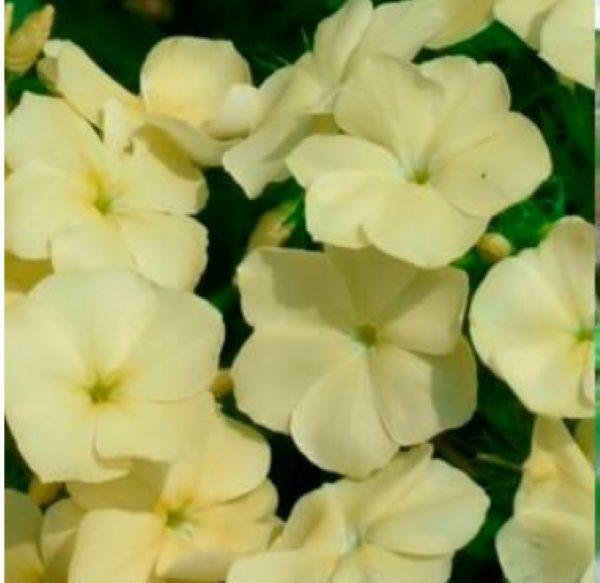 Флоксы однолетние: выращивание из семян, когда сажать на рассаду