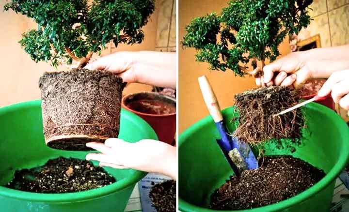 Как выращивать мирт в домашних условиях?