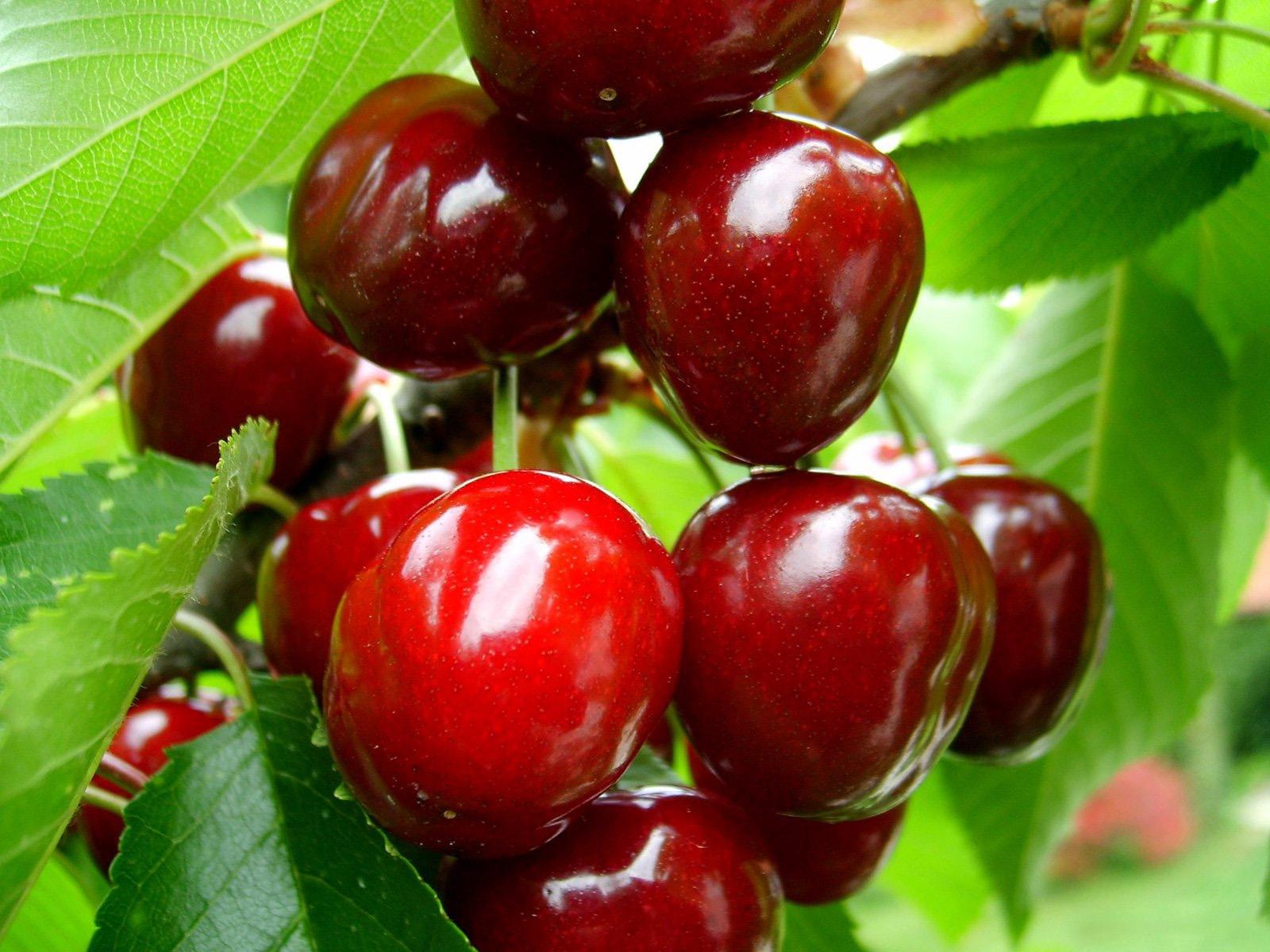 Плодовые ягодные кустарники для сада: фото с названиями, описание