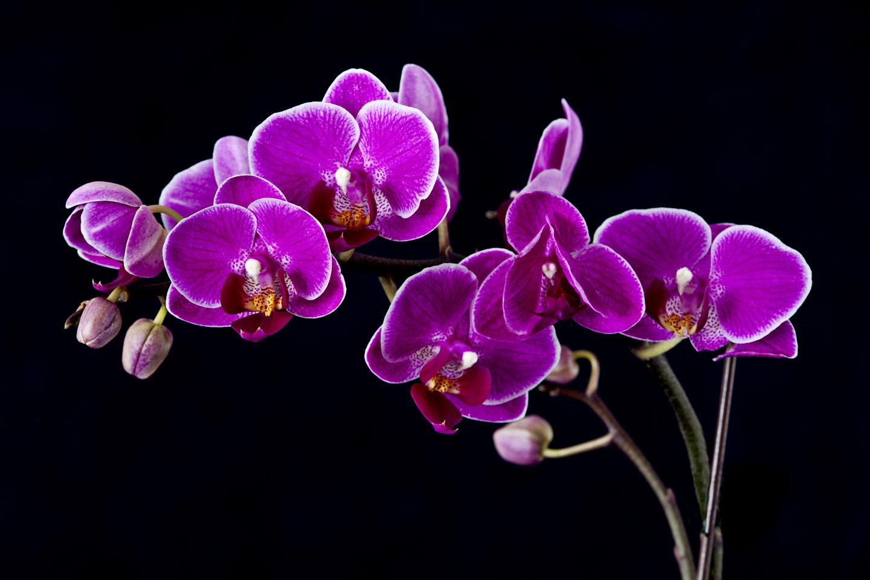 Комнатный цветок с фиолетовыми листьями
