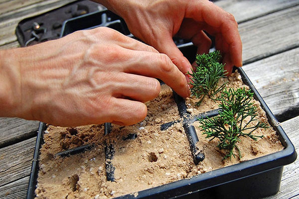 Как размножать кипарисовик
