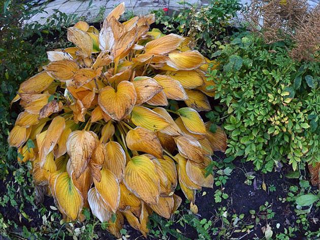 Посадка и уход за хостой 44 фото выращивание хосты в открытом грунте Как красиво посадить уличные цветы на даче Как правильно сажать весной