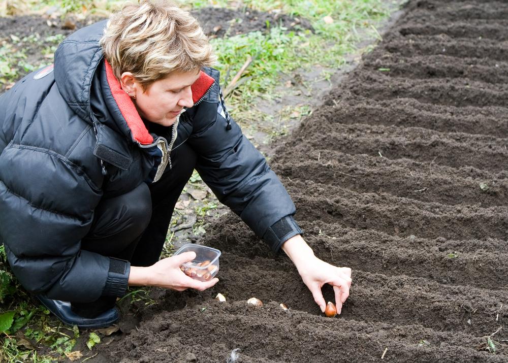 Посадка тюльпанов осенью: когда и как правильно сажать луковицы тюльпанов