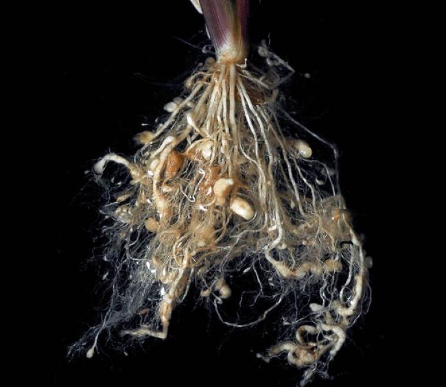 Почему многолетние флоксы не цветут основные причины