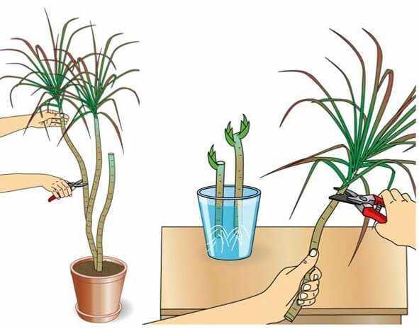 Как ухаживать за драценой в домашних условиях: виды декоративного цветка, как часто поливать и ухаживать зимой, пересадка и размножение.