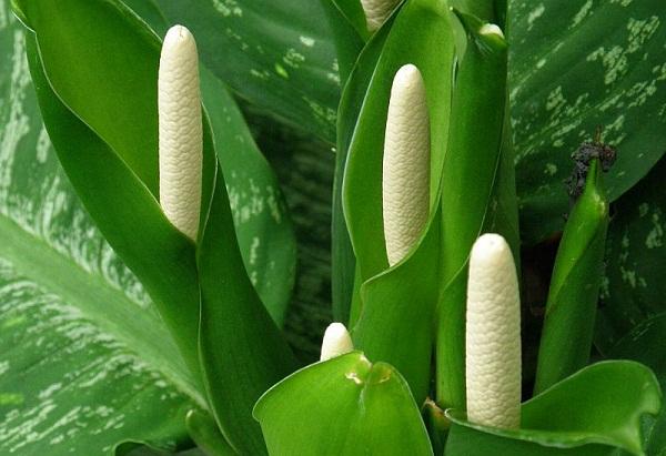 Диффенбахия (64 фото): уход за комнатным цветком в домашних условиях. Родина растения. Чем оно опасно? Особенности цветения. Болезни и вредители