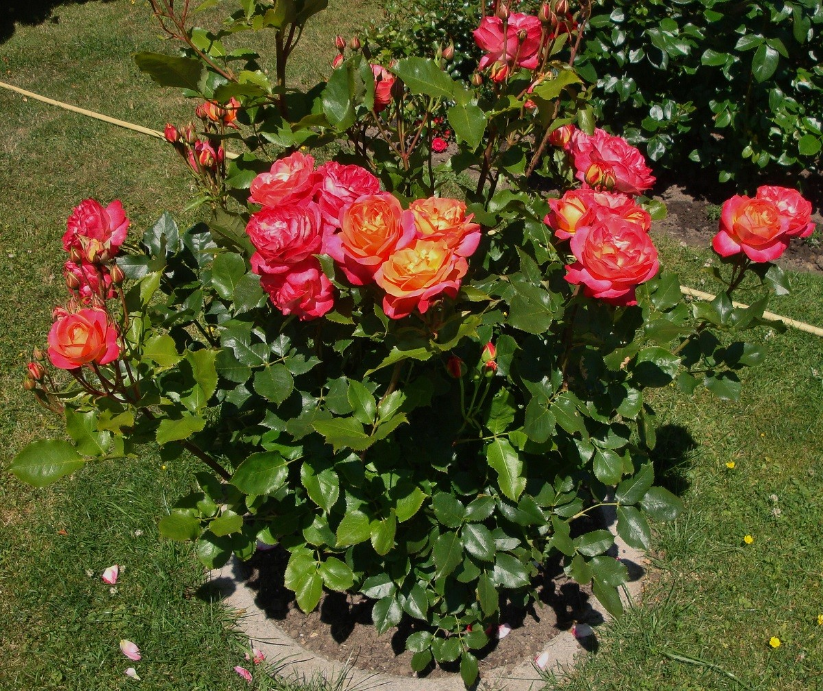 Роза мейланд флорибунда — Все цветы
