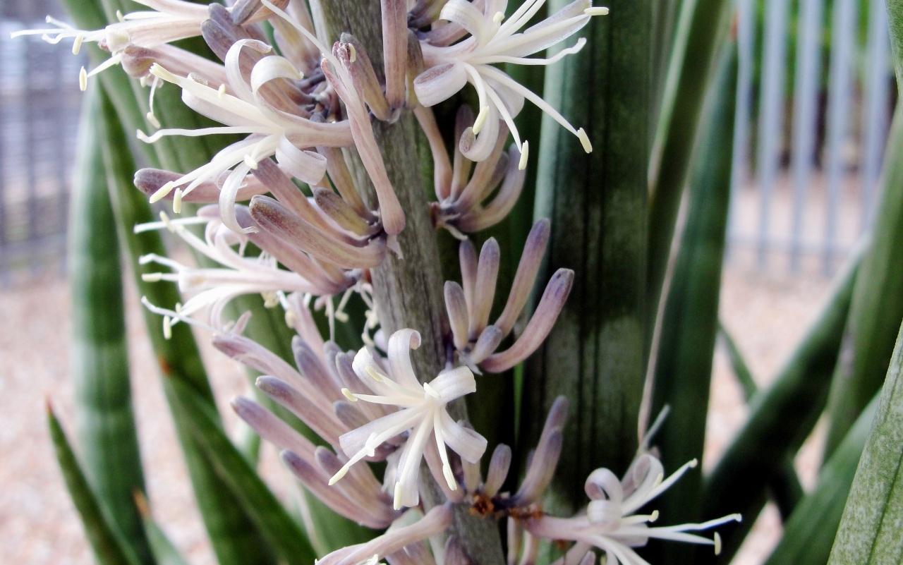 Как вырастить цветок щучий хвост (сансевиерию) в домашних условиях