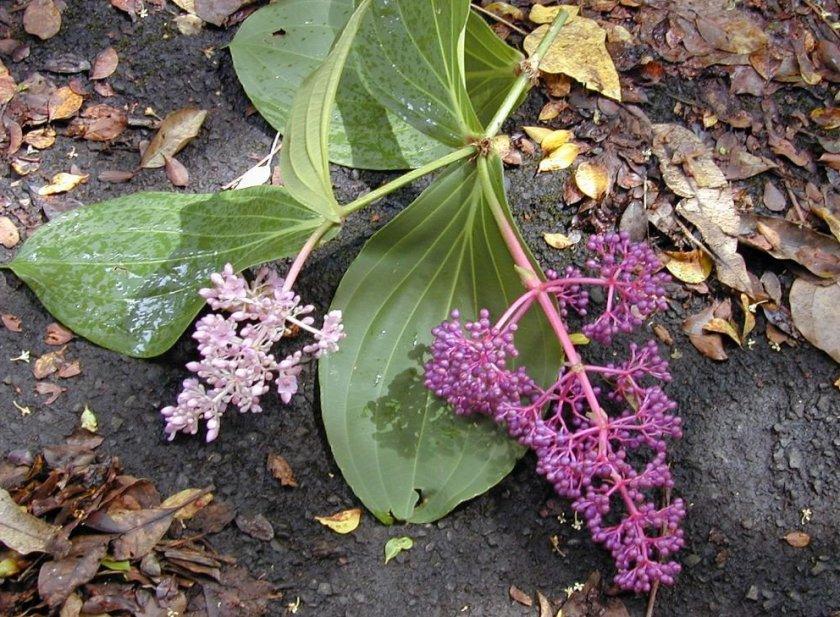 Семена мединиллы