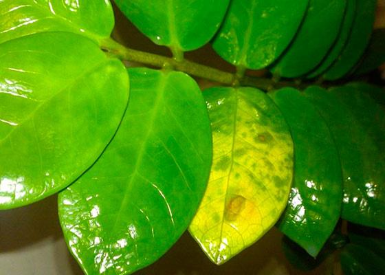 Чем подкормить долларовое дерево листья желтеют