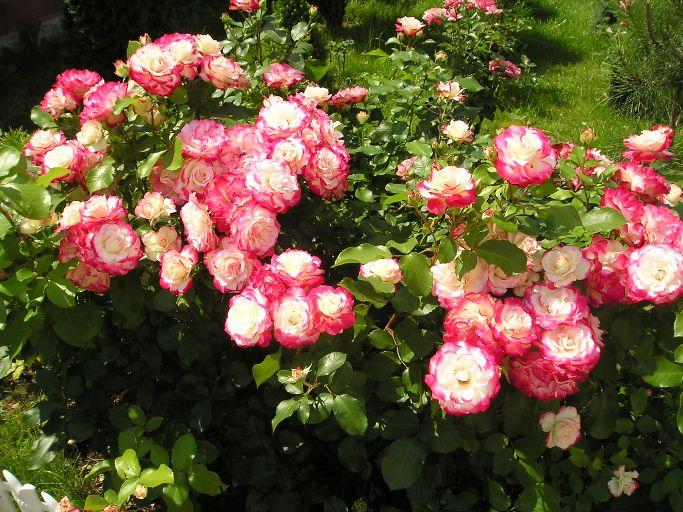 Роза юбилей принца монако описание сорта правила посадки и выращивания