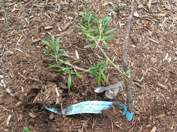 Облепиха характеристика растения