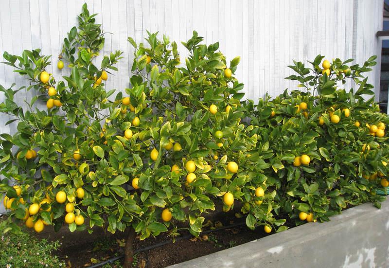 Родина лимона комнатного растения