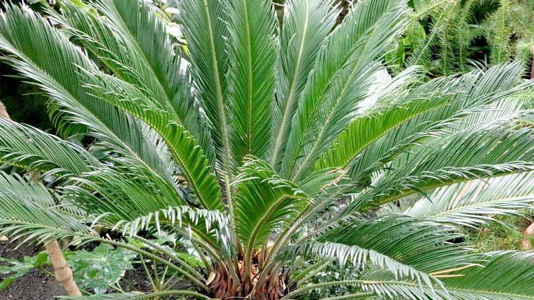 Уход за пальмой цикас в домашних условиях