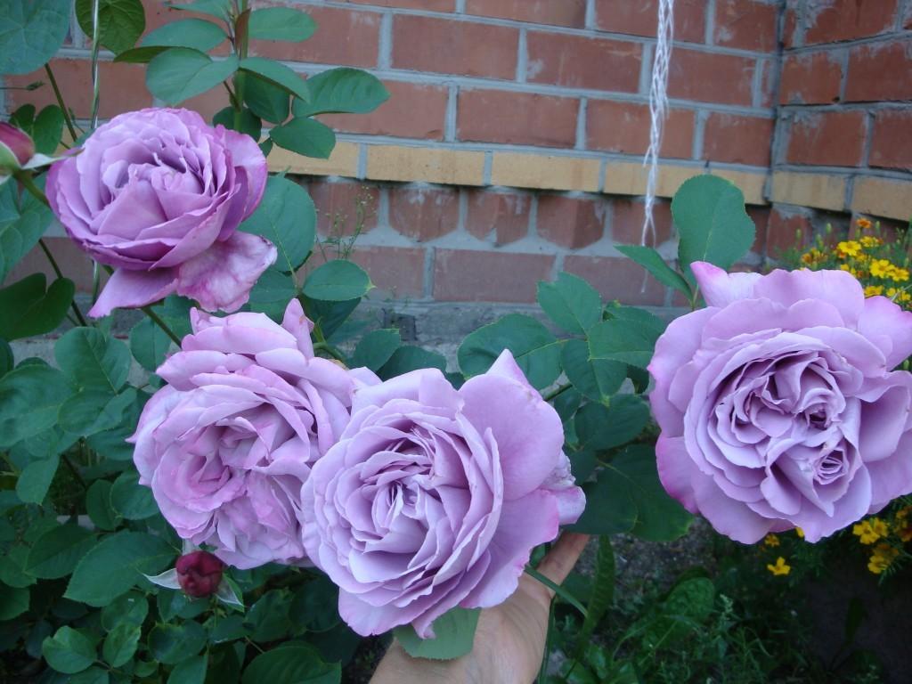 Роза плетистая индиголетта описание и характеристики сорта посадка и уход