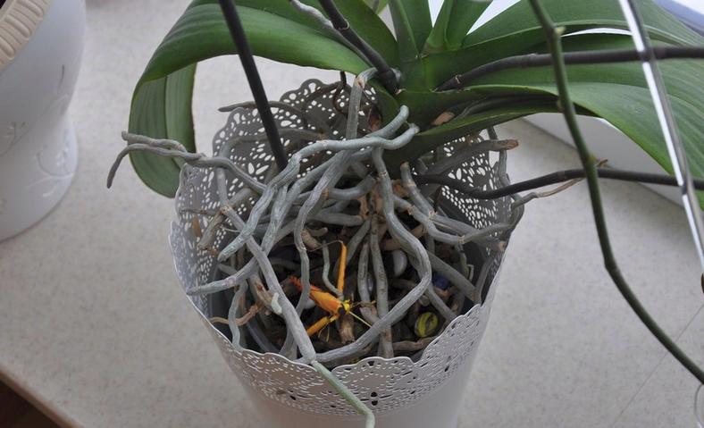 Чем подкормить орхидеи для обильного цветения