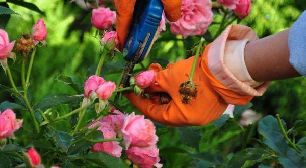 Описание бурбонской парковой розы Луис Одьер: отличительные особенности, уход