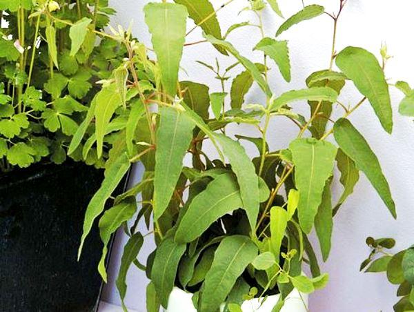 Эвкалипт лимонный флагман из семян выращивать дома