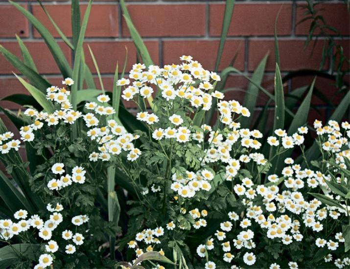 Персидская ромашка робинзон выращивание. Виды персидской ромашки, выращивание из семян, посадка и уход в открытом грунте