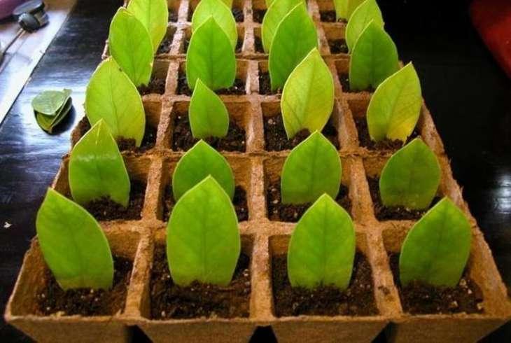 Как посадить долларовое дерево в домашних условиях