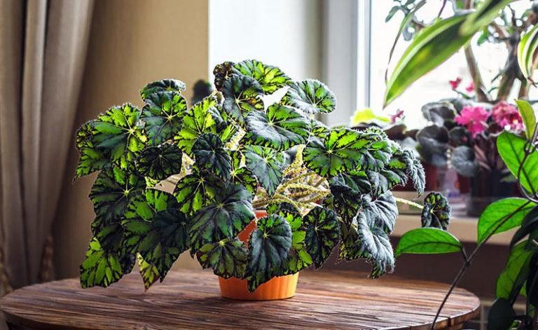 Декоративно лиственные бегонии уход в домашних условиях