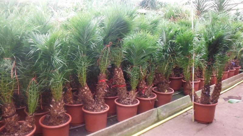 Где растут финиковые деревья