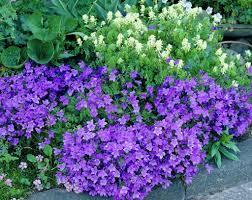 Колокольчики цветы — описание растения и виды