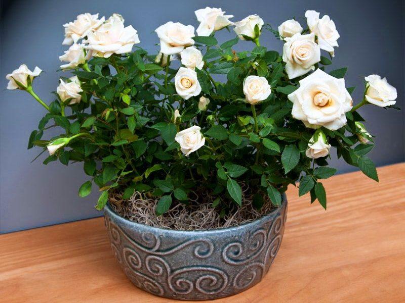 Розы и уход за ними в домашних
