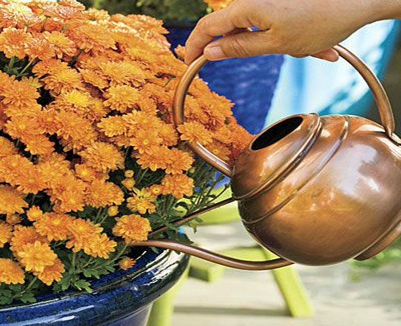 Как рассадить хризантему в горшке