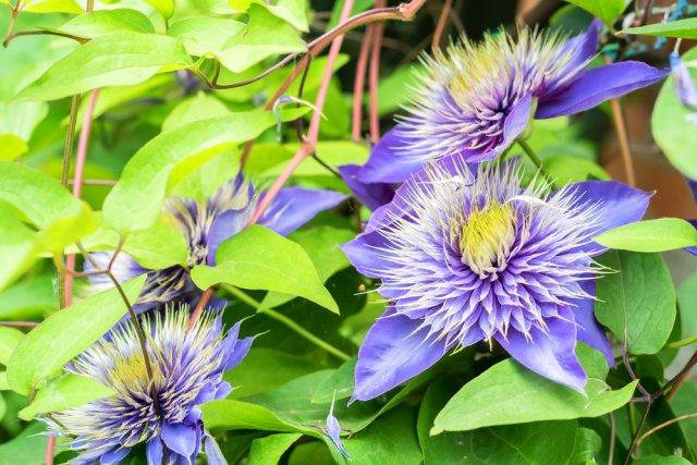 Цветы климаксы фото