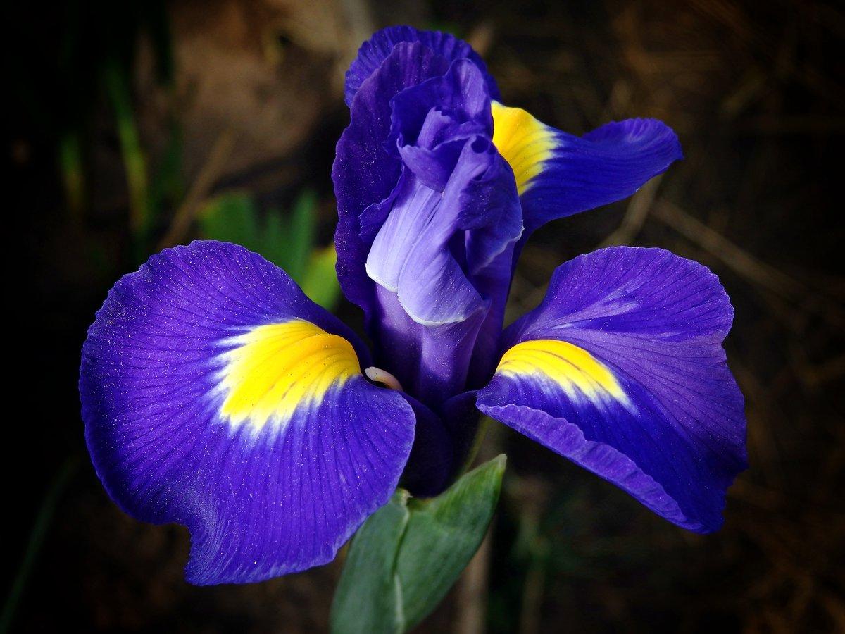 Описание, особенности и значение цветов. Ирисы