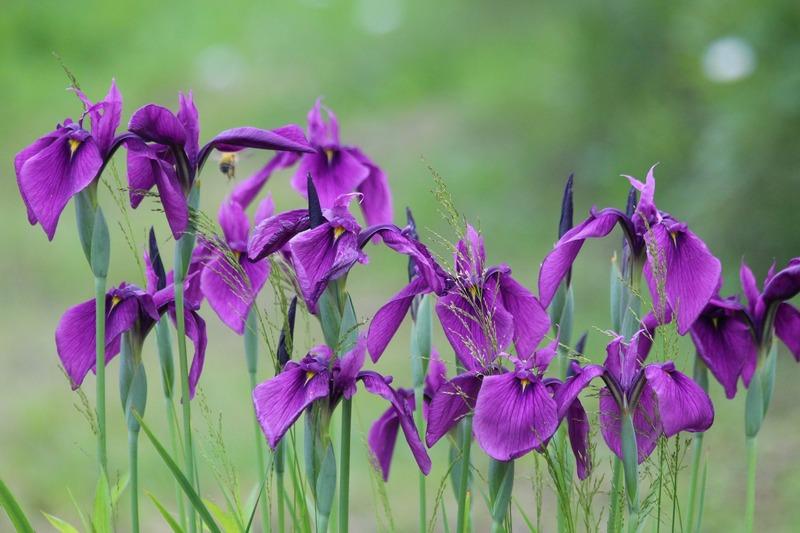 Цветы ирисы посадка и уход