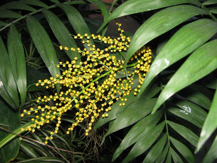 Хамедорея бридбл во врмя цветения