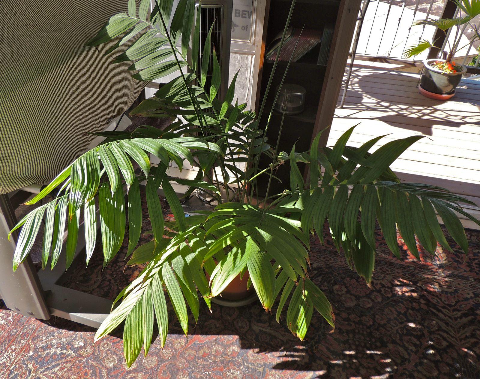 Металлическая приобрела свое название из-за окраса листьев