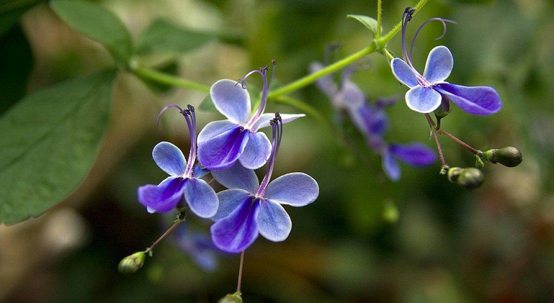 Клеродендрум желтеют листья - Alena Flowers