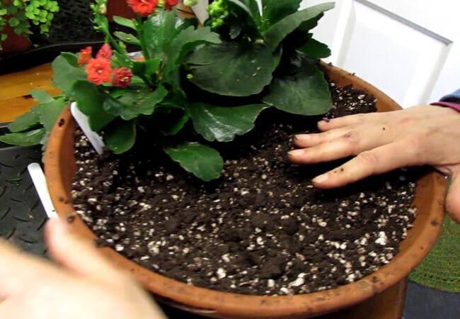 Каланхоэ размножение: варианты и способы в домашних условиях