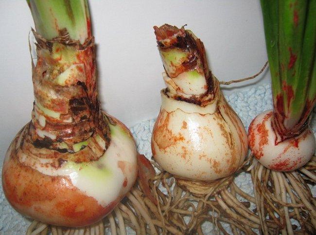 Цветение гиппеаструма: фото, и когда распускается растение в домашних условиях, сколько раз в год, как долго длится это особое время в жизни тропического экзота, что делать со стрелкой дальше?