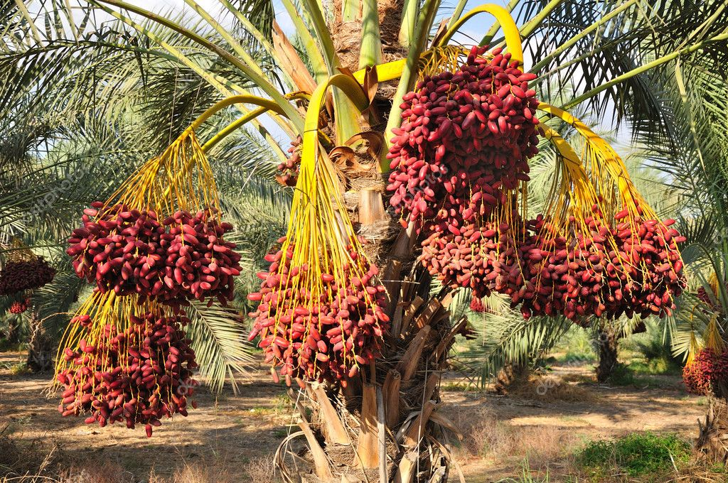 О том как ухаживают за пальмами: где растут, как пересадить, почему сохнут листья