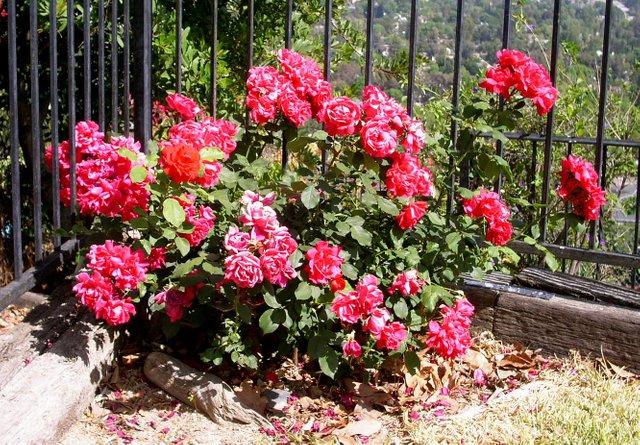 Роза кордана как укрывать на зиму