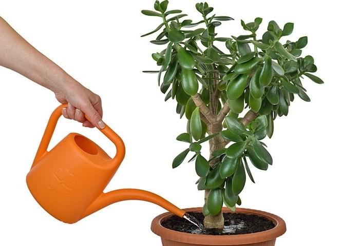 Денежное дерево уход в домашних условиях температура