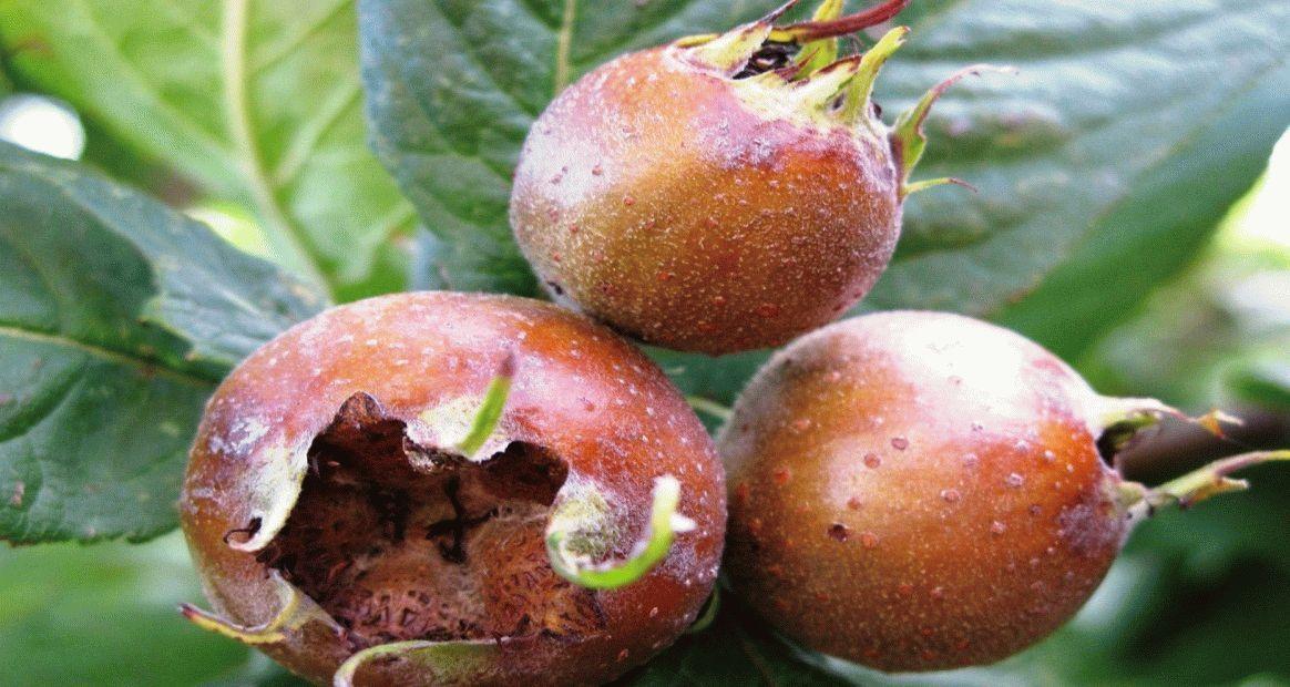 Азгиль фрукт полезные свойства