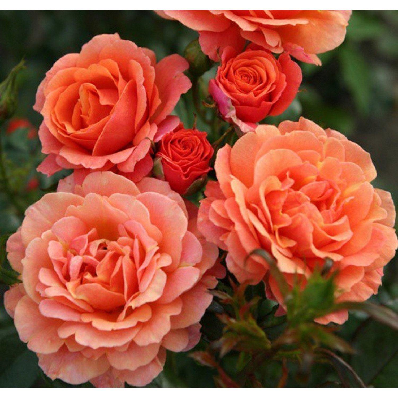 Лучшие сорта роз кордеса: посадка и уход