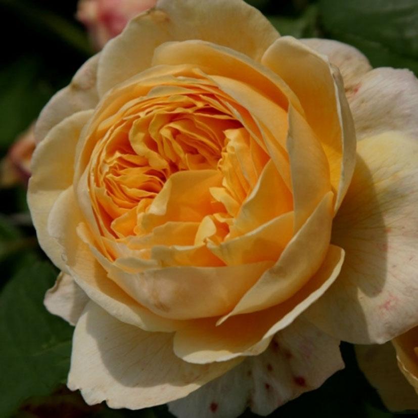 цены сварочные роза шарлотта отзывы фото другими блогерами