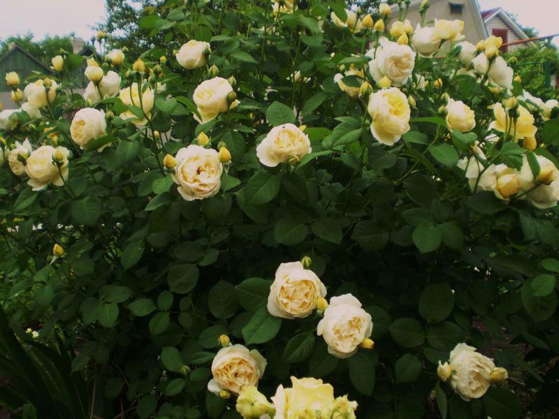 роза шарлотта отзывы фото старое название теряет