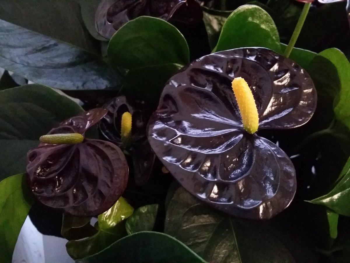 Цветок «мужское счастье» или антуриум: виды Шерцера, Дакота, Блэк Лав