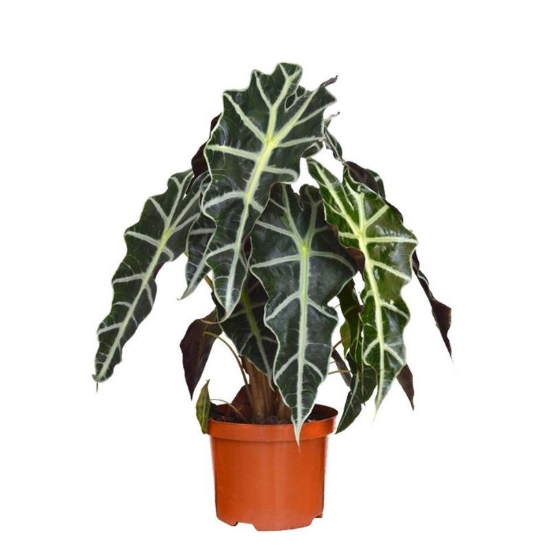 Алоказия калидора: описание растения, как выглядит цветок, фото