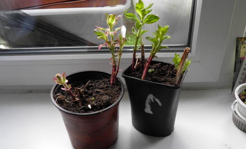 Вербейник монетчатый: как посадить и ухаживать, описание, фото