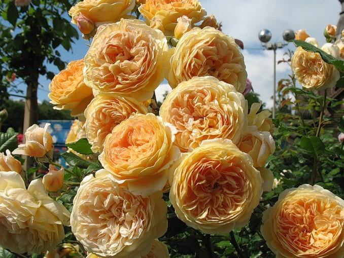 Роза «Принцесса Маргарет» фото и описание, отзывы садоводов