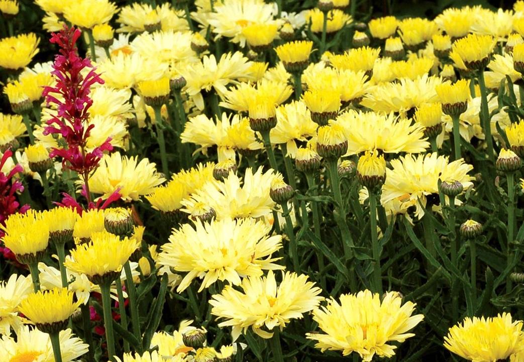 Нивяник обыкновенный или ромашка махровая Крейзи Дейзи: выращивание из семян